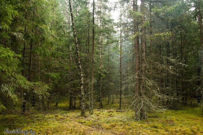 еловый лес, мох