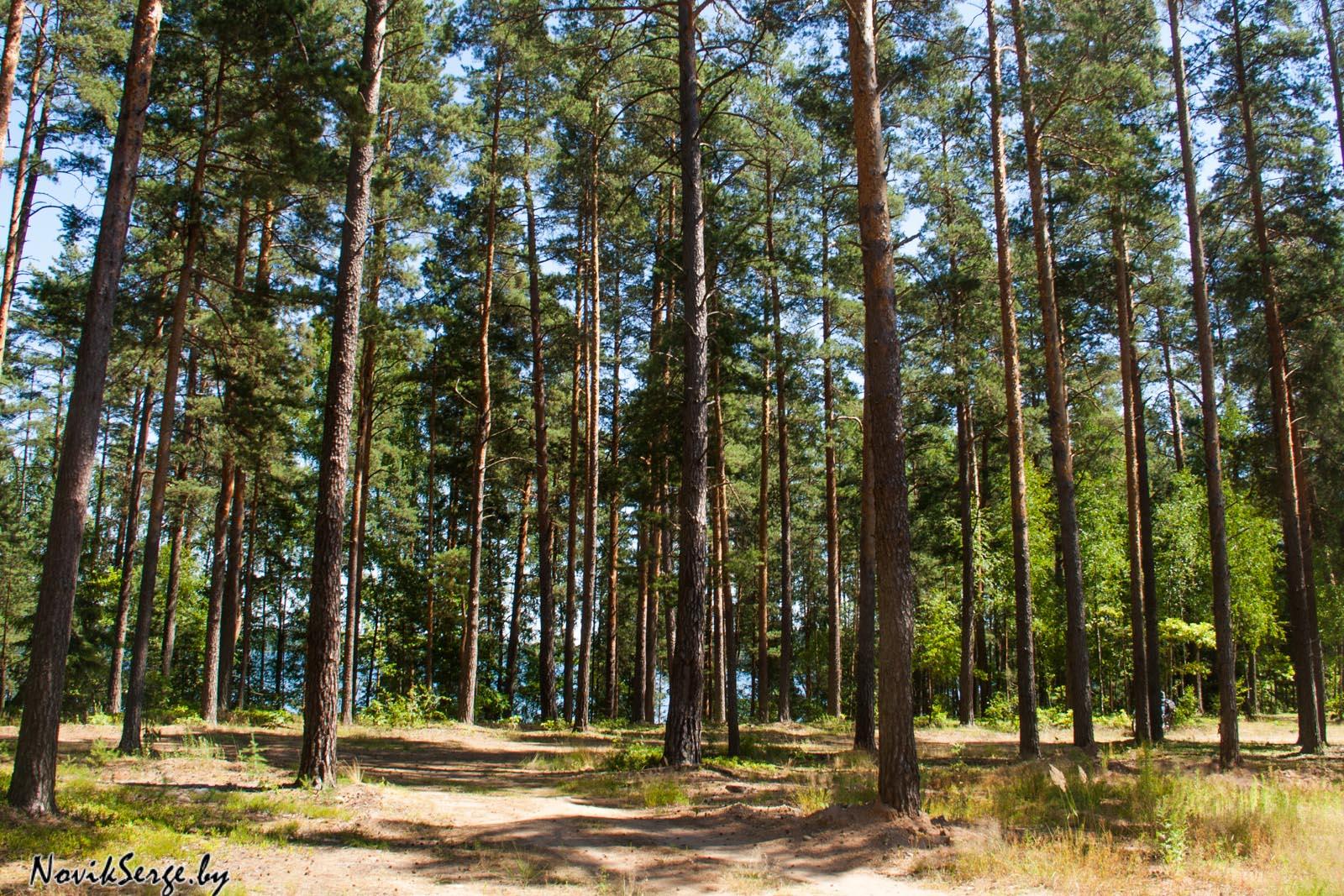 Браславские озёра, лес