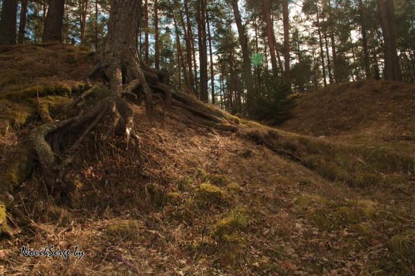 Складка местности, корни, сосны
